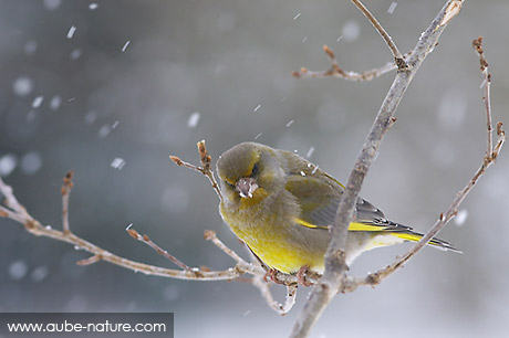 Verdier d'Europe - Greenfinch