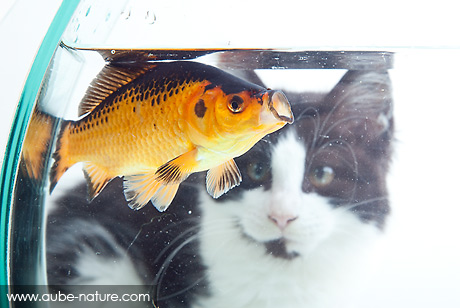 Chaton regardant un poisson dans un aquarium