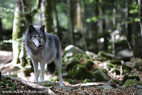 Loup gris (Canis lupus canadiensis)