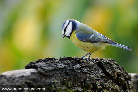 Mésange bleue avec un fond en harmonie avec ses couleurs