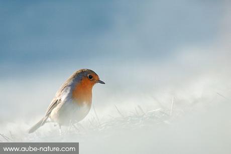 Rouge-gorge dans le givre hivernal
