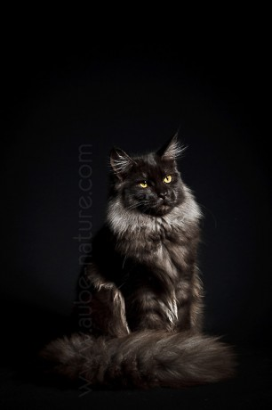 Femelle maine coon black smoke, en studio