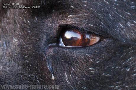 Détail à 100% sur l'oeil (f/3.2 à 300mm et 1/100ème)