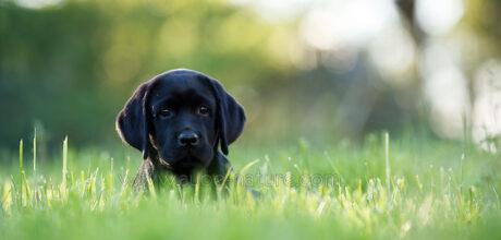 Chiot labrador dans la nature