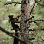 Écureuil roux (Tarn)