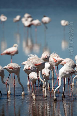 Flamants roses (Camargue)