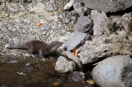Jeune loutre d'Europe (Cantal)