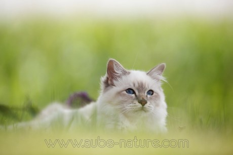 Chat Birman couché dans l'herbe