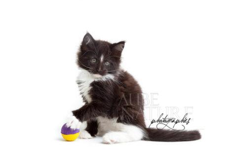 Chaton noir et blanc et sa balle