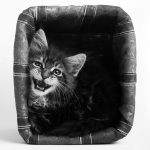 Chaton maine coon en studio