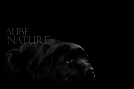 Chiot labrador noir en low key