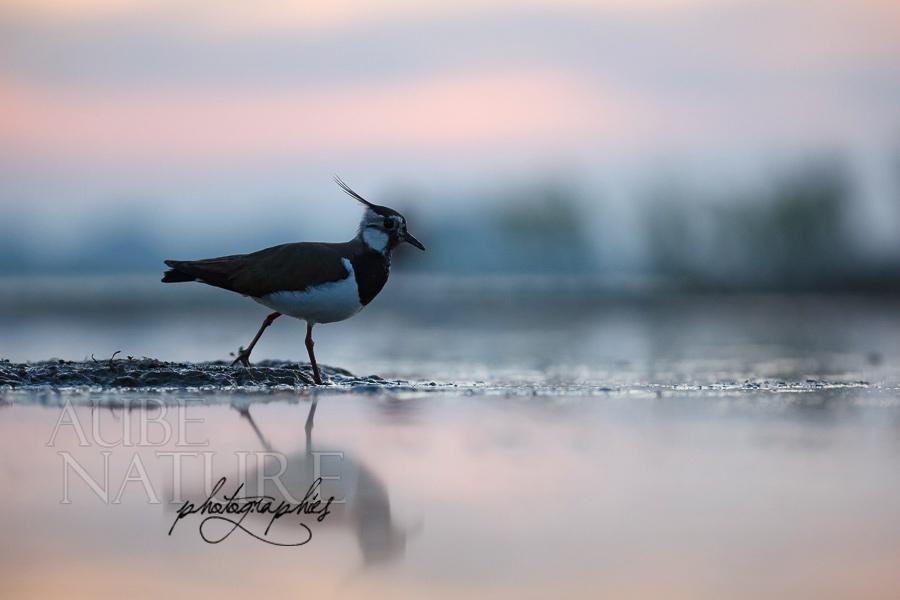 huppé oiseau photo
