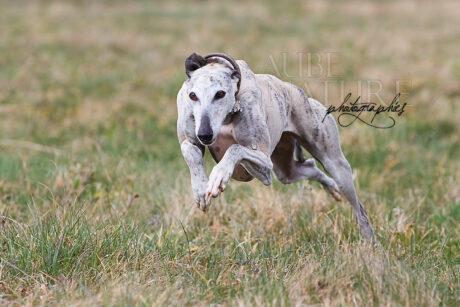 Très rapide et longiligne, le lévrier espagnol Galgo est l'exemple typique du chien dont on doit anticiper le pas de course pour le photographier dans la bonne attitude !
