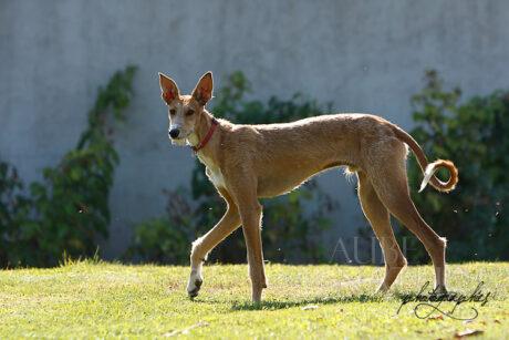 Le podenco ibicenco, de la famille des lévriers, est typiquement un chien sur lequel il est difficile de réaliser des portraits serrés en raison de la longueur de son museau