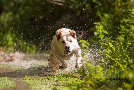 Labrador à la course dans une rivière. L'utilisation d'une vitesse très élevée a permis de figer le mouvement et les gerbes d'eau.