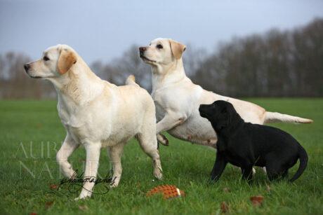 Labradors et chiot