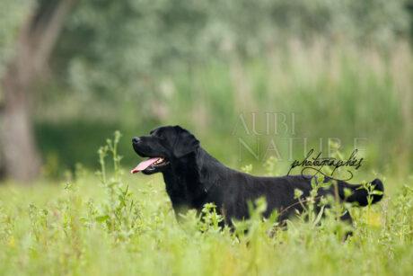 Labrador noir en position statique