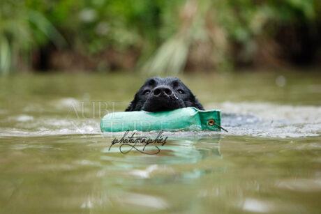 Chien labrador retriever noir ramenant un jouet en nageant - Canon EOS 5D + 70-200/2.8 @ 200mm