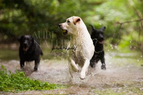Chiens labradors jouant dans une rivière - Canon EOS 5D Mark II + 500/4.5