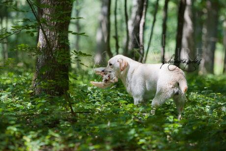 Labrador lors d'un entraînement de chasse (ndlr : utilisation d'un gibier congelé...)