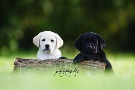 Chiots labradors sable et noir, postant pour le photographe