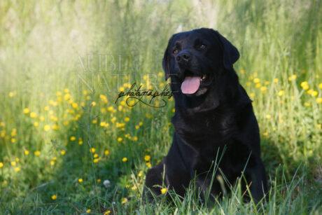 Chien labrador retriever noir assis dans les hautes herbes d'un verger
