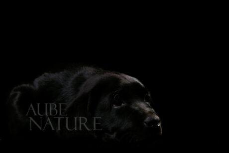 Chiot noir sur fond noir : un choix stratégique pour obtenir un ton sur ton, avec une lumière de studio finement sous-exposée !