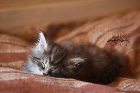 Jeune chaton maine coon black silver blotched tabby, dormant sur un coussin rayé