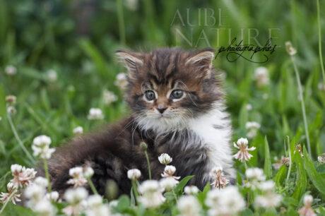 Chaton maine coon brown blotched tabby et blanc, assis dans l'herbe au milieu des trèfles, au printemps