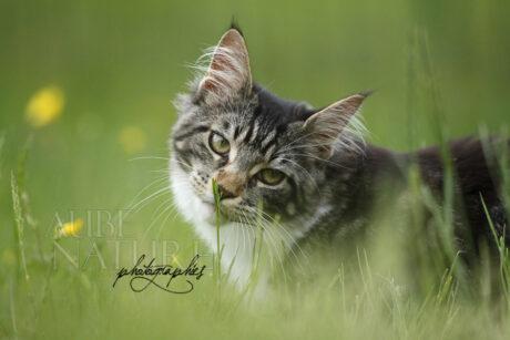 Jeune chatte maine coon brown blotched tabby et blanche, reniflant un brin d'herbe printanier
