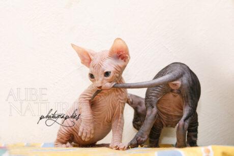 Chatons sphynx jouant sur le dossier d'un canapé, l'un tenant la queue de l'autre dans sa gueule