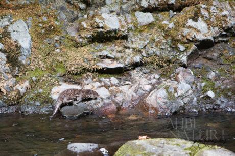 Jeune loutre au bord d'une rivière