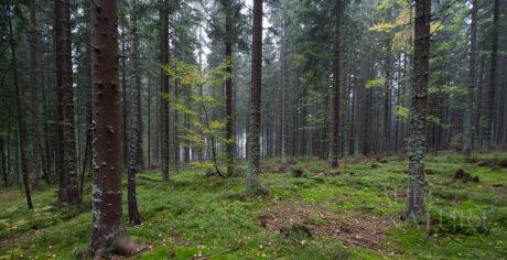 Forêt primaire en Europe